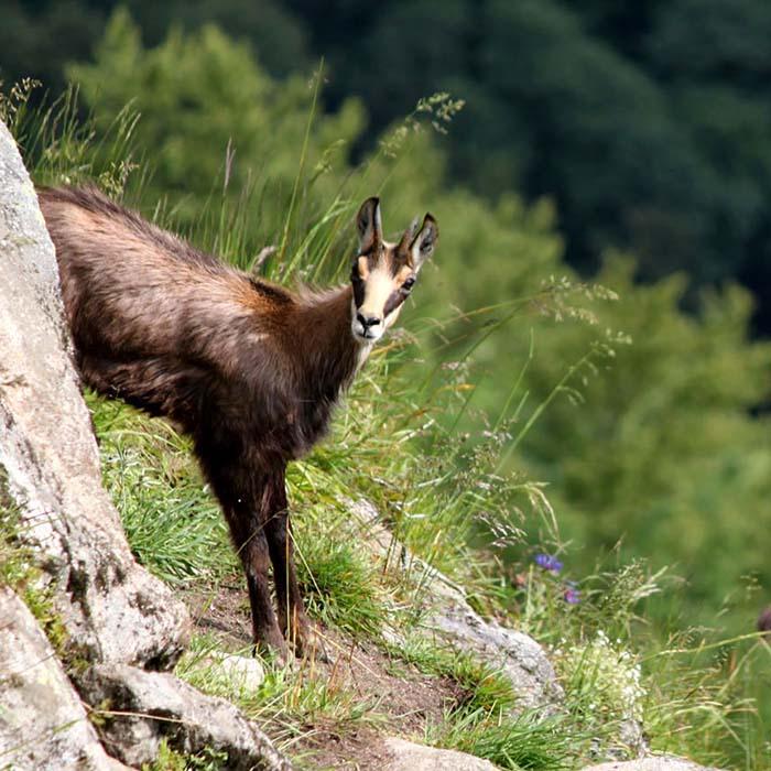 Chamois visible en été en plein cœur des Vosges